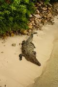 animals in wild. crocodile basking in the sun,colombia - stock photo