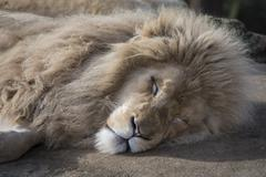 Sleeping male lion - stock photo