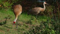Two Sandhill Cranes peck at the grass in Slow Motion Stock Footage