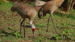 Sandhill Crane pecks at the ground as a second one walks by, in slow motion. Stock Footage