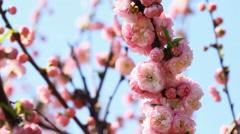 Blossom Pink Sakura Tree Stock Footage