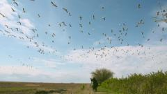 Arctic Geese Flying over Wildlife Photographer in Slow Motion Stock Footage