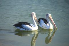 Australian Pelicans - stock photo