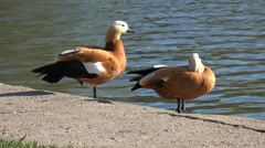 4K ducks at a pond Stock Footage