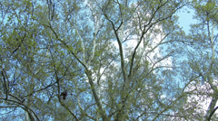 200 years old Platanus Plane Tree in Spring 2 tilt - stock footage