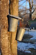 Sap Buckets on Nova Scotia Maple Trees in Warm Evening Light Stock Photos