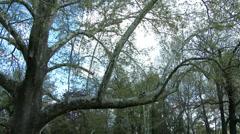 200 years old Platanus Plane Tree in Spring 3 pan Stock Footage