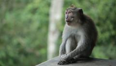 The wild monkey sits on a stone and chews Stock Footage