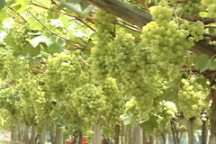 Grapes Vineyard in Videira, SC Brazil Stock Footage