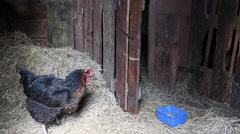 Hen in the chicken coop Stock Footage