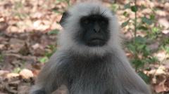 P03536 Gray Langur Monkey Face at Kanha National Park Stock Footage