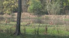 P03539 Deer and Wetland at Kanha National Park Stock Footage