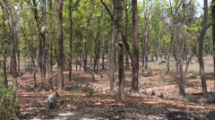 P03537 Gray Langur Monkeys in Forest in India Stock Footage
