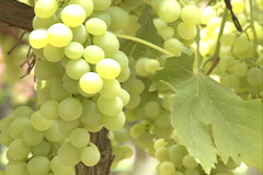 Green Grapes Closeup Vineyard in Videira, SC Brazil Stock Footage