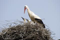 Stork family on the nest - stock photo