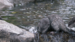 Asian Small-Clawed Otters Playing and Swimming Stock Footage
