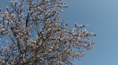 Blossoming Spring Almond Tree  Stock Footage