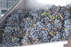 Wine production, machinery crushing Grapes in Videira, SC Brazil Stock Footage
