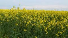 Oilseed rape flowers at spring Stock Footage