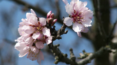 Blossoming Spring Almond Tree_detail Stock Footage