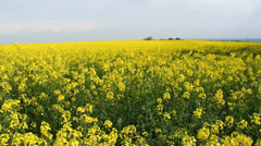 Rapeseed at spring - stock footage