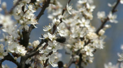 Blossoming Spring Plum Trees 8 fly Stock Footage