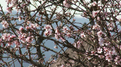 Blossoming Almond Spring Trees 9 Stock Footage