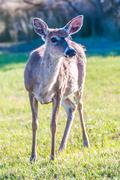 white tail deer bambi in the wild - stock photo