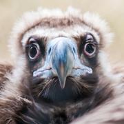 Young baby vulture raptor bird Stock Photos