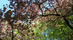 Cherry Blossoming Tree 4 pan Stock Footage