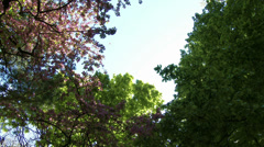 Cherry Blossoming Trees 5 pan Stock Footage