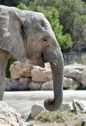 Portrait of an African elephant - stock photo