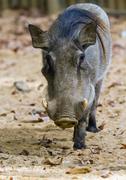 Warthog or Common Warthog, Phacochoerus africanus Stock Photos