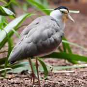 the masked lapwing (vanellus miles),previously known as the masked plover and - stock photo