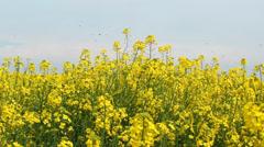 Oilseed rape at spring - stock footage