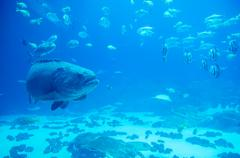 giant grouper fish looking at diver - stock photo
