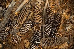 Arrangement of pine cones on the ground Stock Photos