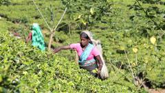 Tea plantation workers picking tea Stock Footage