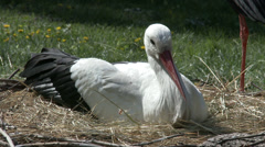 European White Stork on her Nest 5 Stock Footage