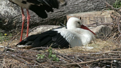 European White Stork on her Nest 7 Stock Footage