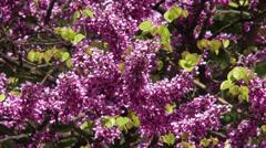 Lilac Tree 3 Stock Footage