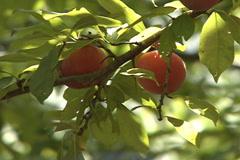 Plums fruit production closeup SD-02 - stock footage