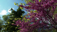 Stock Video Footage of Lilac Tree and Deodar Cedar 1
