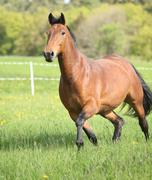 Amazing and big brown horse running Stock Photos