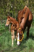 mare with foal in spring - stock photo