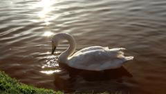 White trumpeter swan in water sparkle Stock Footage