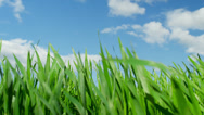 Stock Video Footage of CLOSE UP: Green wheat field swaying in the wind