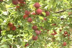 Red Plums fruit SD-11 Stock Footage