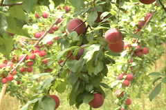 Red Plums fruit SD-13 Stock Footage