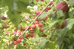 Red Plums fruit field SD-14 Stock Footage